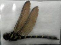 ■標本 オニヤンマ ♀