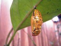 ■オオゴマダラチョウ(蛹) 1個