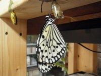 ■オオゴマダラチョウ 幼虫3匹セット