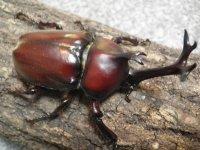 ヤマトカブトムシ幼虫