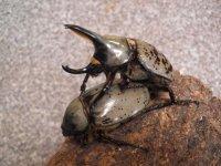 (卸価格)グラントシロカブトムシ幼虫 50匹