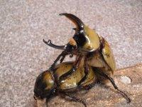 ■ヒルスシロカブトムシ 幼虫 10匹