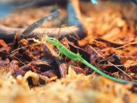 ■サキシマカナヘビ baby