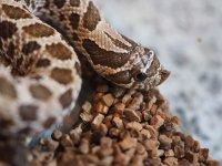■セイブシシバナヘビ