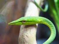 ■ハナナガムチヘビ