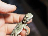 ■フトアゴヒゲトカゲ baby    ●品種 ノーマル 性別 不明