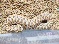 ■セイブシシバナヘビ No.1    ●雌雄 ♀ 約30cm