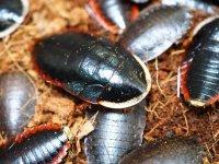 ■サツマゴキブリ 5匹セット